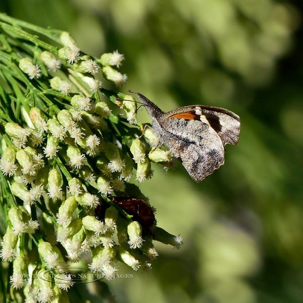 Butterfly- Am. Snout 2018.10.4#275. Madera Canyon Arizona.