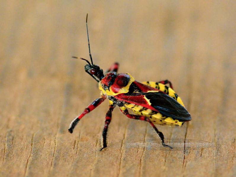 Bug-Yellow-bellied Bee Assassin 2018.8.10#012. Prescott Valley Arizona.