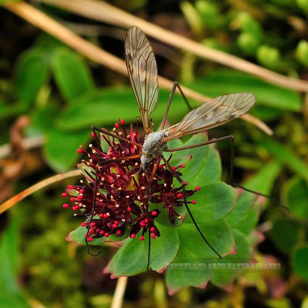 Fly-UK, Crane species 2011.7.15#057. Hatcher Pass Alaska.