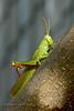 CRICKETS, GRASSHOPPERS, MANTIS-Grasshopper-Unknown species 2018.8.19#001. Prescott Valley Arizona.