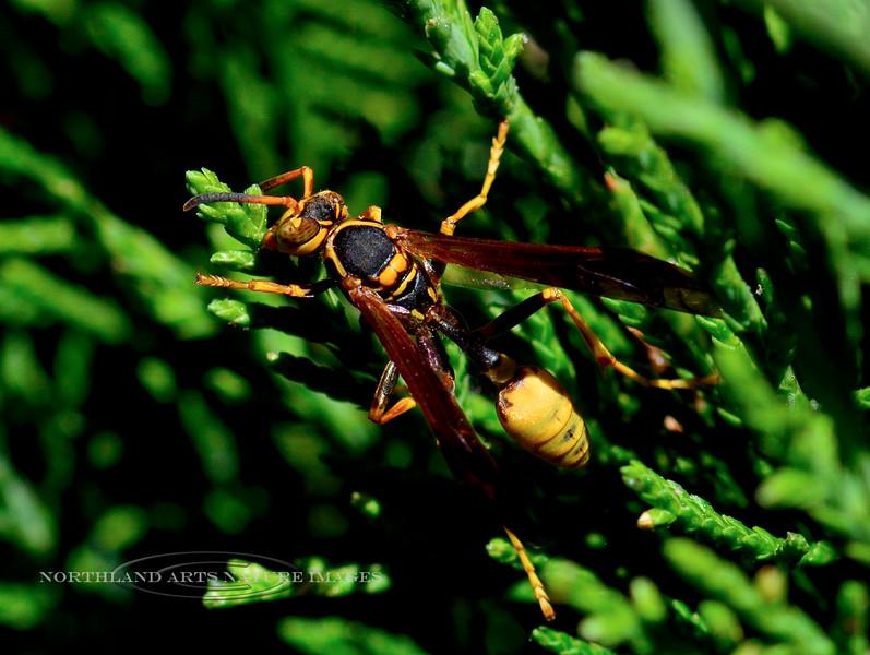 WASPS-Golden Paper sp. 2018.9.29#004. Polistes species. Prescott Valley Arizona.