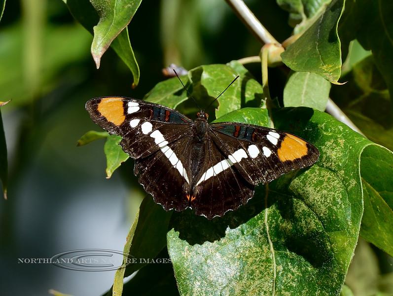 Butterfly-Adelpha bredowii, Arizona Sister 2018.10.5#496. Madera Canyon Arizona.