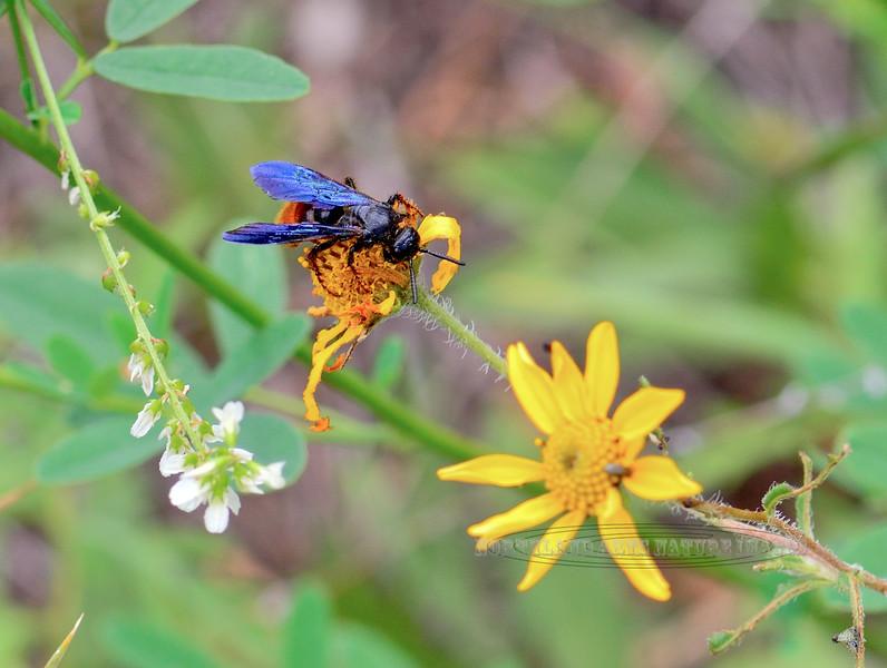 Bee-Sphecodes species, Cuckoo Bee 2018.9.22#637. Mingus mountain Arizona.