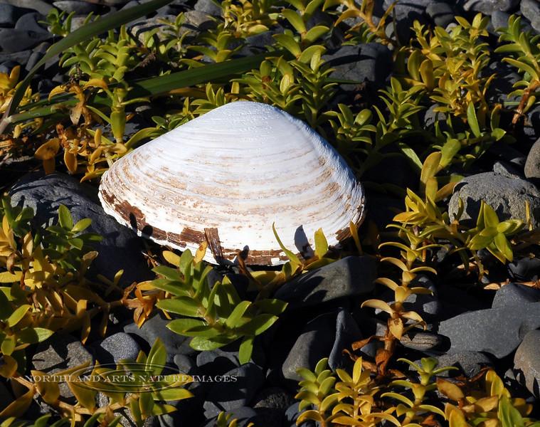X-MARINE-Clam, Hardshell Butter 2005.9.30#0139.1x. Saximdomus giganteus. Oil Bay, Alaska Peninsula, Alaska.