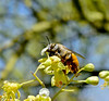 Bee-Digger species 2019.4.28#018.4. Centris pallida. North of Congress Arizona.