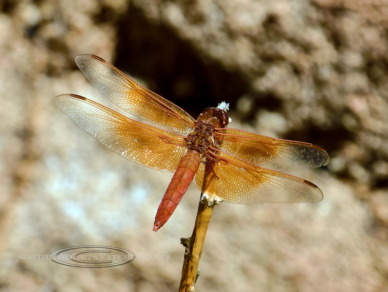 DAMSELFLIES, DRAGONFLIES-Dragonfly, Flame Skimmer 2017.8.15#162.3. Watson Lake Arizona.