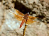 DDF--The Flame Skimmer Dragonfly 2017.8.15#162.3. Watson Lake Arizona.