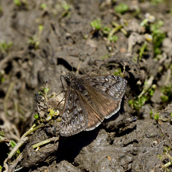 BUTTERFLIES-Sootywing, Common 2018.4.26# Pholisora Catullus, mud puddling. Kaibab forest Grand Canyon Nat. Park Arizona.