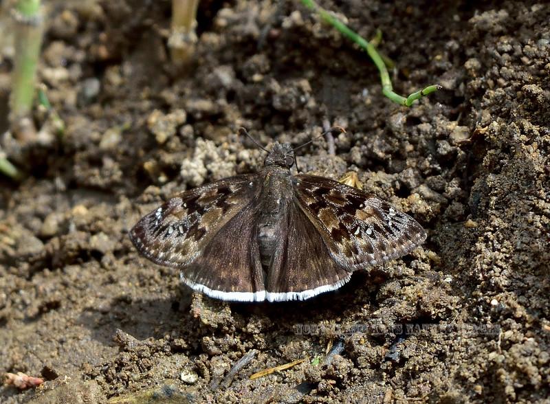 Butterfly-Mottled Duskywing 2018.4.7#307. Madera Canyon Arizona.