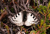 Butterfly-Phoebus Parnassian 2000.8.13#5. A true alpine species. Gakona Glacier,Alaska.