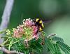 Bee-Bumblebee, Sonoran 2017.7.17#040.3. Bombus sonorus on a Silk Tree blossom. Prescott Valley Arizona.