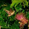 MOTH-Sphinx, White-lined Moth 2017.7.22#279. Hyles lineata nectering on Silk Tree blossoms. Prescott Valley, Arizona.