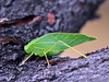 CRICKETS, GRASSHOPPERS, MANTIS-Katydid-Greater Angle-winged 2017.10.24#007. Microcentrum rhombifolium. Prescott Valley, Arizona.
