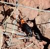 BEETLES, Desert Blister  2020.3.20#7910.3. Lytta magister-Lake Pleasant Arizona.