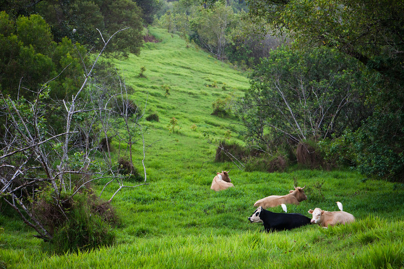 Cattle Egrets, on Cattle