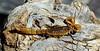 "SCORPION-Hoffmannius spinigerus  2017.11.5#023.3. Arizona Stripe-tailed, ""Devils"" . Much thicker, shorter tail then the more lethal Bark Scorpion. This is an exoskeleton. Prescott Valley Arizona."