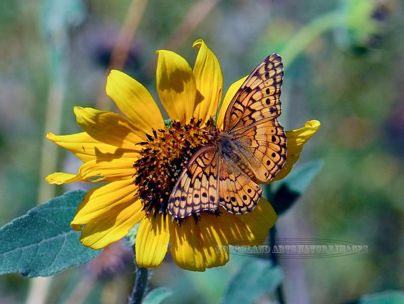 BUTTERFLIES-Fritillary, Varigated 2018.9.28#024. Euptoieta Claudia, on a Sunflower. Agua Fria River, Yavapai County Arizona.