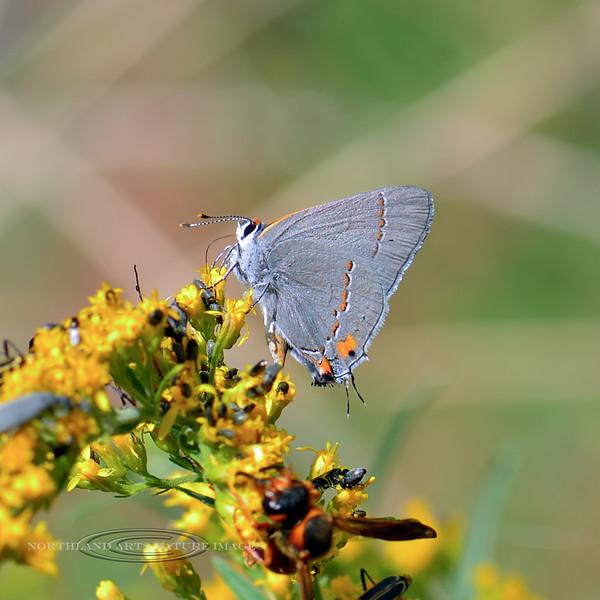 Butterfly-UK 2018.9.22#889. Mingus Mountain Arizona.
