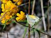 Butterfly-Nathalis iole, Dainty Sulphur 2018.9.28#650. Watson Lake Arizona.