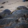 A pile of sea turtles