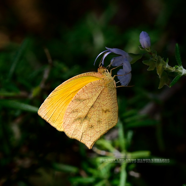 Butterfly-Eurema proterpia, the Sleepy Orange 2018.10.4#137. Madera Canyon Arizona.