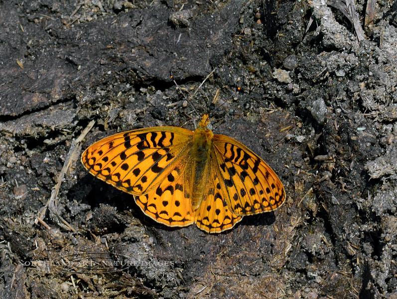 Butterfly-UK, perhaps Speyeria species 2018.7.6#4888. Powder River Wyoming.