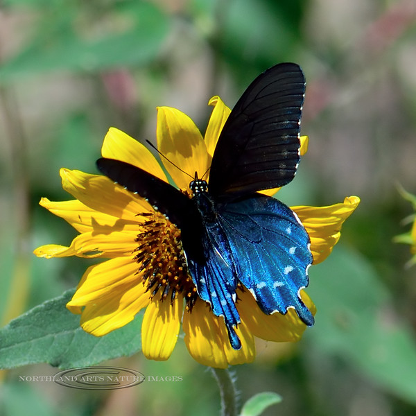 BUTTERFLIES-Swallowtail, Pipevine 2018.9.28#014. Battus philenor, on a Sunflower. Yavapai County Arizona.