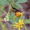Bee-Sphecodes species 2018.9.22#628. Cuckoo Bee. Mingus Mountain Arizona.