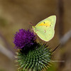 Butterfly-Colias philodice, Clouded Sulphur 2017.10.12#1170. On a Bull Thistle. Mongollan Rim Arizona.