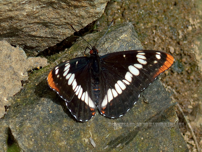 Butterfly-Limenitis Lourquins, Lourquin's White Admiral 2018.7.1#3687. Lolo Pass, Montana.