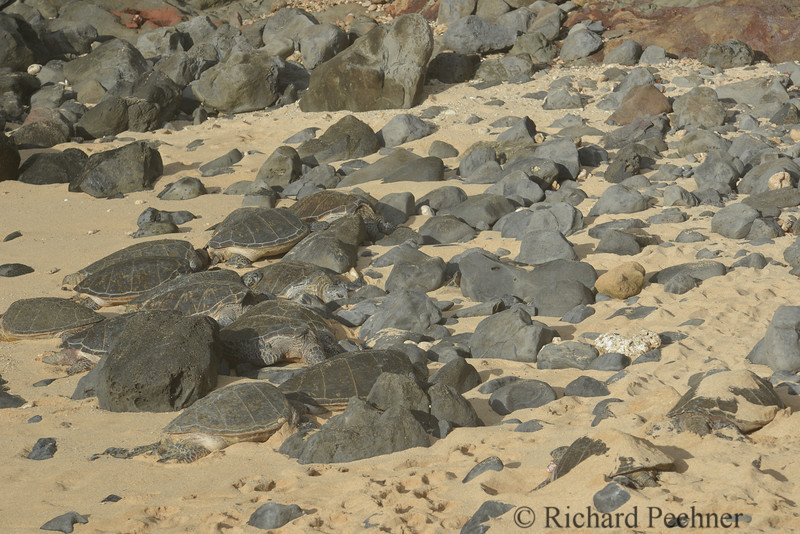 13 Honu hiding amongst the rocks at Ho'okipa.