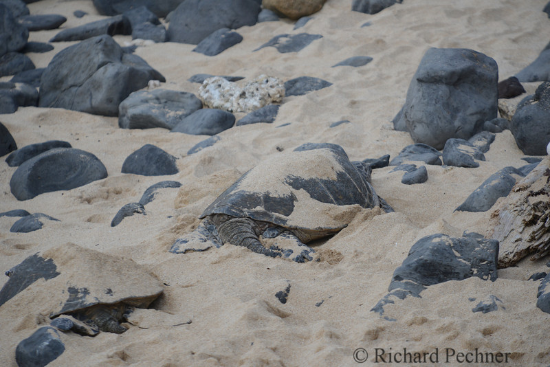 Honu like to cover themselves with sand to stay cool.