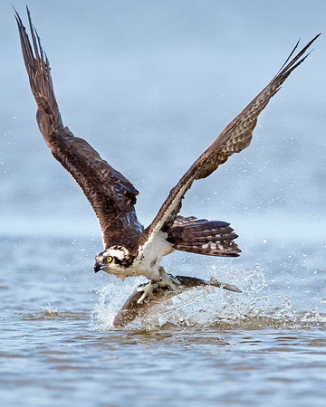 This photograph of an Osprey catching a shad was captured within the James River in Virginia (3/13).   This photograph is protected by the U.S. Copyright Laws and shall not to be downloaded or reproduced by any means without the formal written permission of Ken Conger Photography.