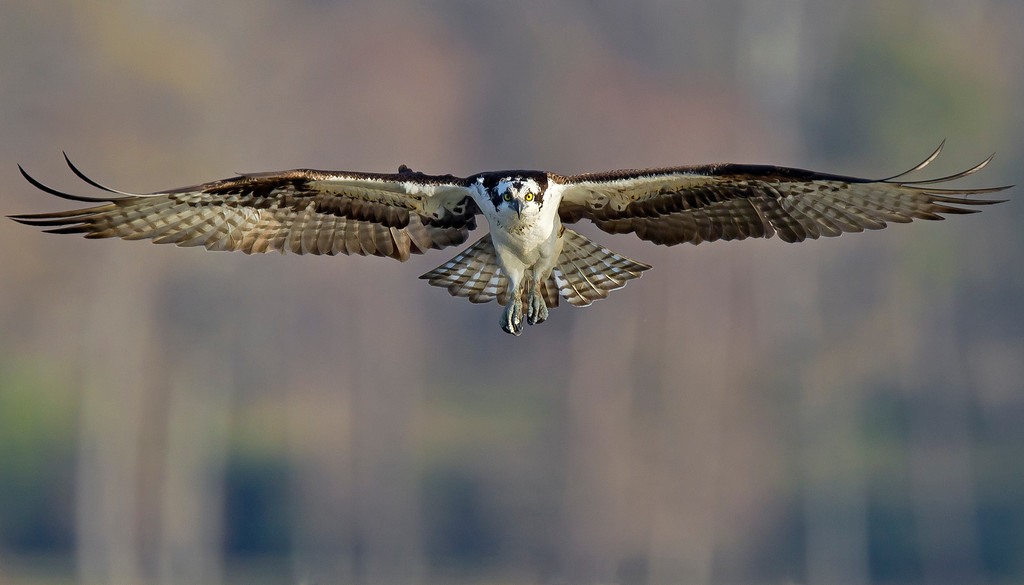 This Osprey photograph was captured in the Smithfield, Virginia area (4/11).     This photograph is protected by the U.S. Copyright Laws and shall not to be downloaded or reproduced by any means without the formal written permission of Ken Conger Photography.