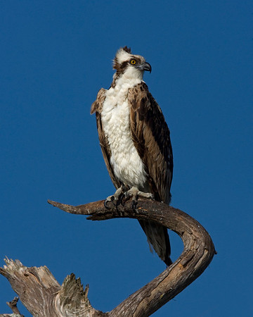 This Osprey was captured at Merritt Island National Wildlife Refuge, Florida (4/08).   This photograph is protected by the U.S. Copyright Laws and shall not to be downloaded or reproduced by any means without the formal written permission of Ken Conger Photography.