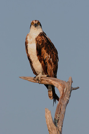 This photograph of an Osprey or Fish Hawk was captured in Merritt Island National Wildlife Refuge (4/04).