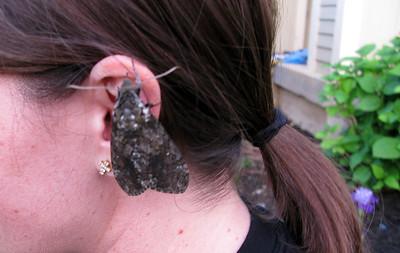Hawk Moth 2012
