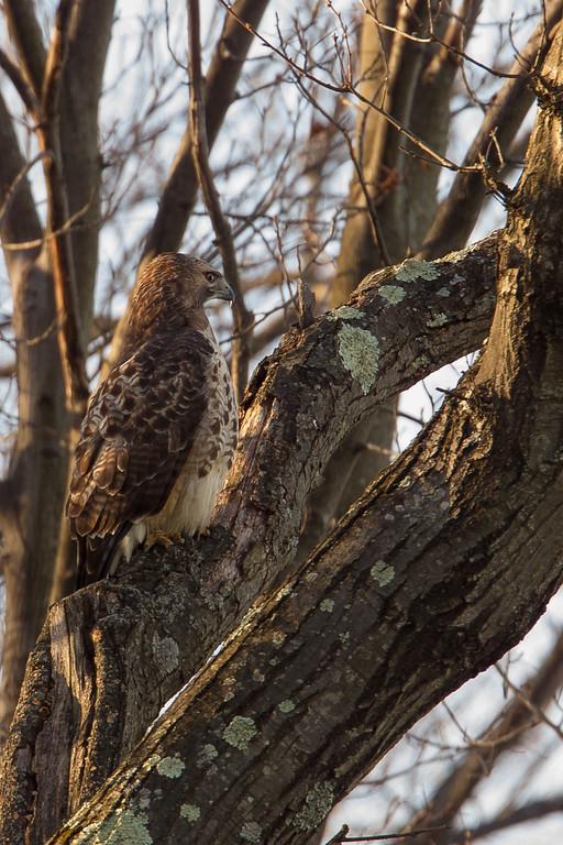 Hawk and Squirrel