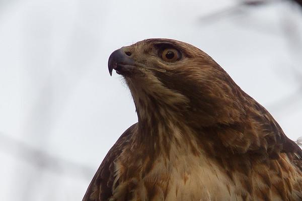 Hawk and Squirrel in Rhode Island