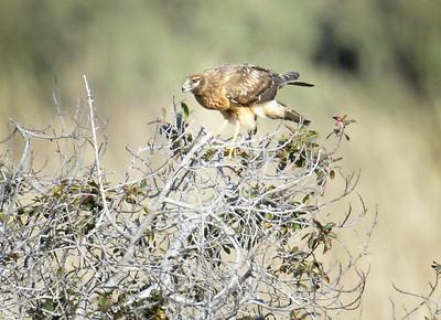 Hawk in our meadow