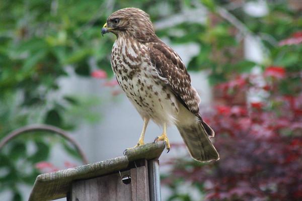 Hawk in the Garden