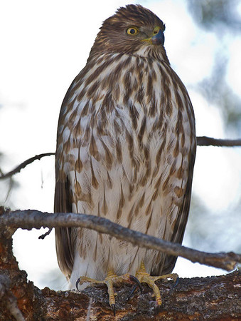 Hawk in the front yard
