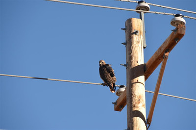 One of 12 Red Tail Hawks seen that day in the Carson Valley