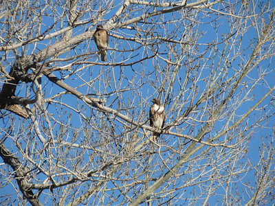 Red Tail Hawk Pair in the tree survey the fields of the Carson Valley, Nevada.