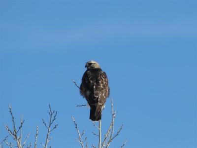 Hawks and Snow - 2013