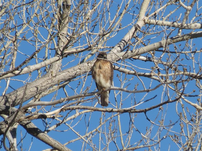 Closeup of the other Red Tail Hawk.