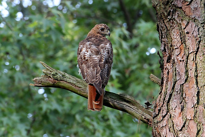 OK, this is an easy ID for me, Red Tail Hawk!