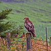 Immature Red Tailed Hawk Green County Iowa