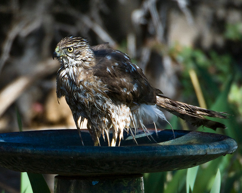 April 2008<br /> <br /> Coopers Hawk- He looks a little confused. I may have been the two Scrub Jays heckling him in the background. This is the first time I have every seen a hawk bath.