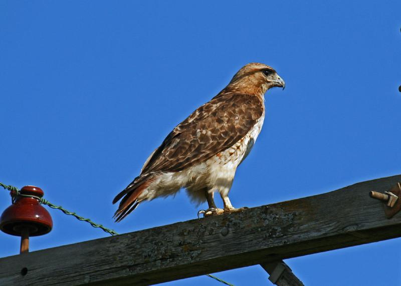 Red-Tailed Hawk Boone County Iowa Harrier Marsh